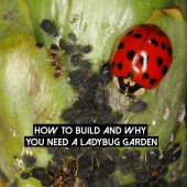 How To Build And Why You Need A Ladybug Garden