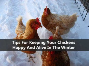 Tips For Keeping Your Chickens Happy And Alive In The Winter