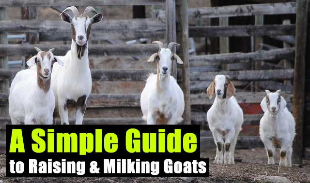 A Simple Guide to Raising & Milking Goats - In a SHTF situation goats will be a valuable asset to have for the milk and meat... also goats will be just another alternative to cows, they are smaller and eat a lot less too. Making them a worthy investment pre and post SHTF.