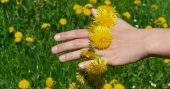 25 Reasons To Go & Pick Dandelions Right Now -- Dandelion, officially classed as a weed, is also a fantastically useful herbal remedy that contains a wide number of pharmacologically active compounds.
