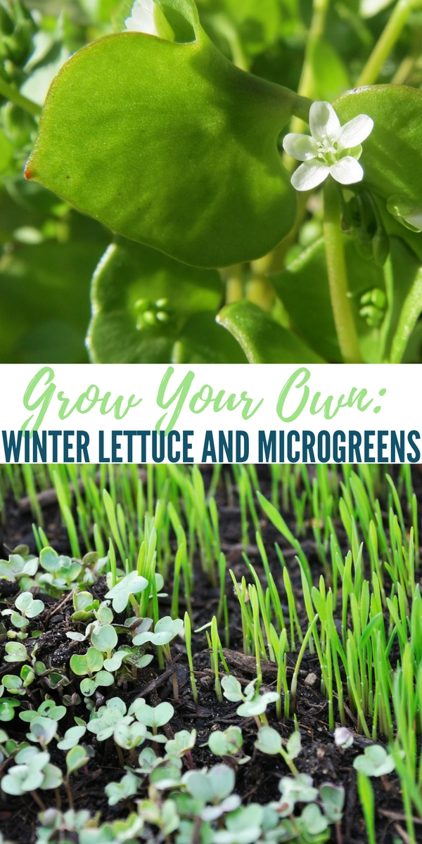 Grow Your Own: Winter Lettuce and Microgreens — Winter is a tough time to grow food, we all know that. This article shows us how to grow winter lettuce and micro greens inside over the winter months.