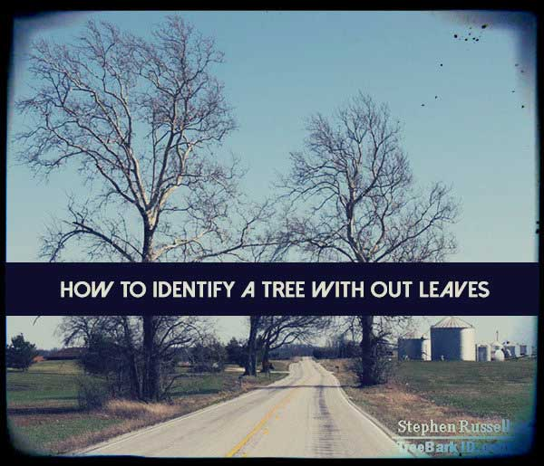How To Identify A Tree With Out Leaves