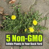 5 Non-GMO Edible Plants In Your Back Yard - Where is a good place to look for chemical-free and GMO-free fresh veggies this time of year? Your back yard is where!