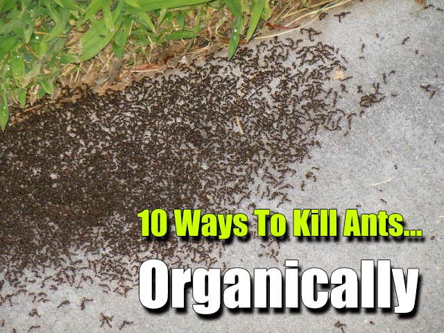 10 Ways To Kill Ants… Organically