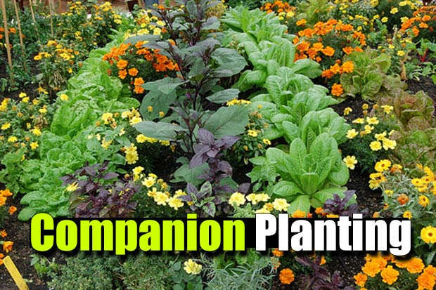 Companion Planting 101 - A list of vegetable and herbs which grow well together and protect one another from insect attacks. Many herbs are natural insect repellents that can keep your garden bug free and reduce or eliminate the need for potentially harmful pesticides.