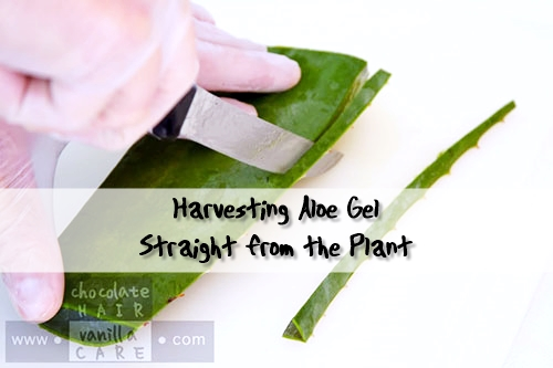 Harvesting Aloe Gel Straight from the Plant - For harvesting the aloe gel, you'll want to start with a large leaf, preferably thick and at least a foot in length (if harvesting from non-potted aloe; potted plants will obviously be smaller). The thicker the stalk, the more gel it will yield.