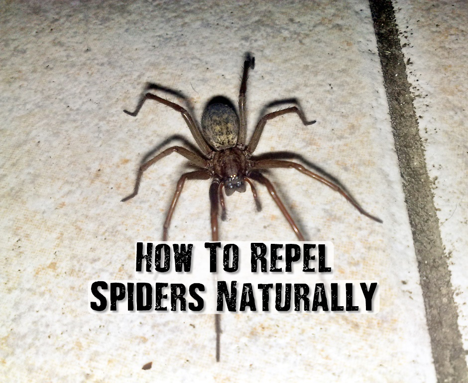 How To Repel Spiders Naturally - Spiders have their taste buds on the tips of their legs and there are certain natural oils they hate including citrus, lavender, peppermint, citronella, cinnamon, tea tree and cloves.