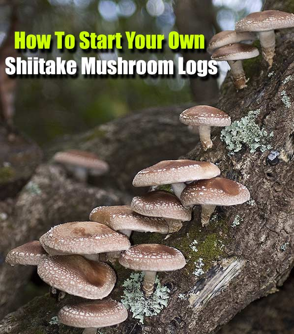 Start Your Own Shiitake Mushroom Logs - This is a great homesteading project and will enable you to save money on mushrooms for those 2 / 3 years. If SHTF, you also have a source of food others may not generally have.