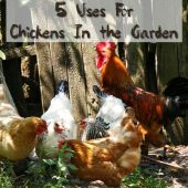 5 Uses For Chickens In the Garden