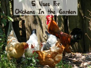5 Uses For Chickens In the Garden - If you are looking for a devoted helper in your backyard garden, the humble chicken would like to apply for the job. These multitasking creatures will eagerly contribute to your home gardening needs in five earth-friendly ways.