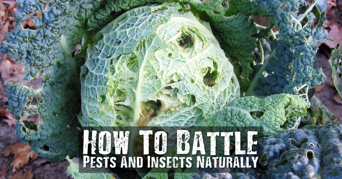 How To Battle Pests And Insects Naturally With Hot Pepper and Garlic Spray - Do you ever suffer with pests and insects around your house or in your lovely vegetable garden? If you do and you don't want to use chemicals. There are a number of natural insecticides and ways to stop pests that you can try.