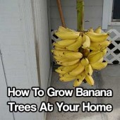 how to grow bananas at home