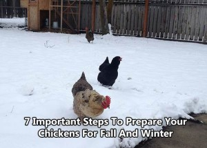 7-Important-Steps-To-Prepare-Your-Chickens-For-Fall-And-Winter