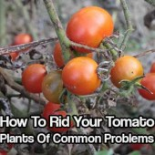 How To Rid Your Tomato Plants Of Common Problems