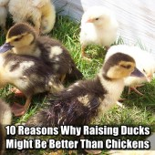 10 Reasons Why Raising Ducks Might Be Better Than Chickens