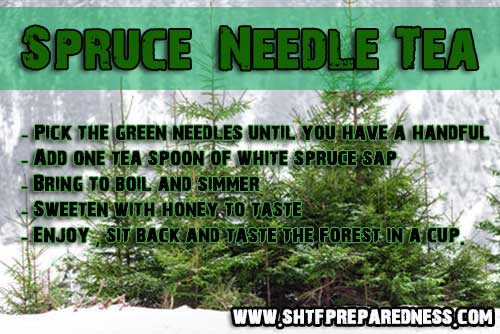 Directions to make spruce needle tea