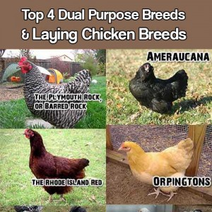 Top 4 Dual Purpose Breeds And Laying Chicken Breeds - There are so many breeds to choose from and it can be quite overwhelming when looking into what breeds are best suited for your needs.