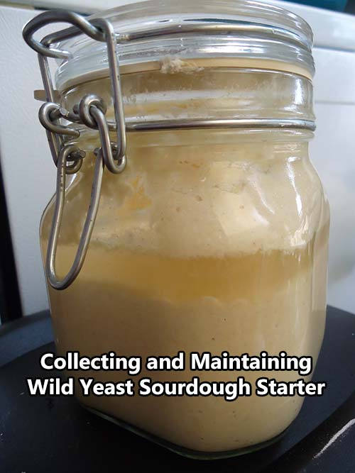 Collecting and Maintaining Wild Yeast Sourdough Starter
