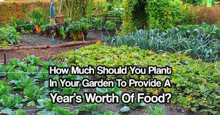 How Much Should You Plant In Your Garden To Provide A Year's Worth Of Food? — Not long ago, people had to think about how much to grow for the year. They had to plan ahead, save seeds, plant enough for their family and preserve enough to survive over the winter months!