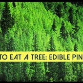 How To Eat A Tree: Edible Pine Bark