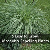 5 Easy to Grow Mosquito-Repelling Plants