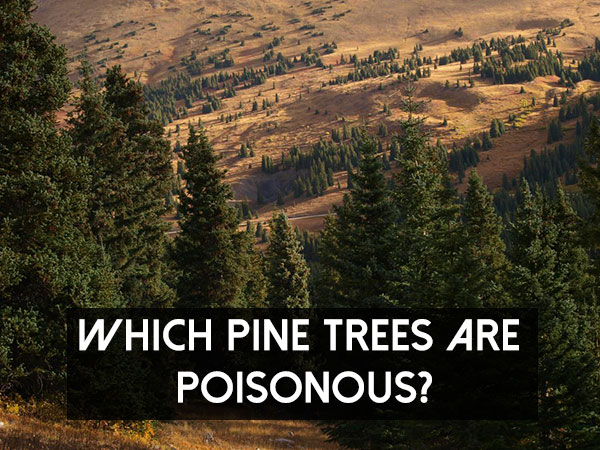 Which Pine Trees Are Poisonous?