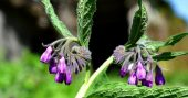 Comfrey The Knit Bone Herb — If you have no access to a doctor or in a SHTF situation, Comfrey has been known to heal bones and double cell regeneration.