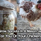 How to Grow Sprouts In A Mason Jar For You Or Your Chickens