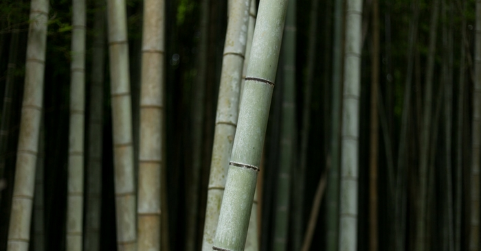 Why Bamboo Could Save Your Life! — Bamboo is cheap, awesome and invasive .... yet it could save your life in an emergency situation. I would consider planting some before it's to late!