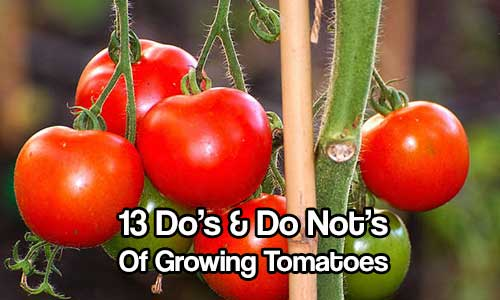 13 Do's & Do Not's of Growing Tomatoes - SHTF Prepping & Homesteading Central