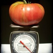 How To Grow Giant Tomatoes