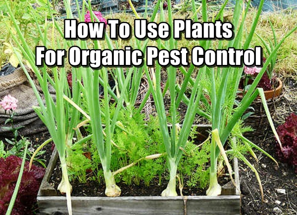 How To Use Plants For Organic Pest Control Shtf Prepping
