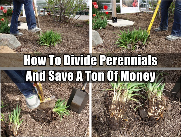 How To Divide Perennials And Save A Ton Of Money
