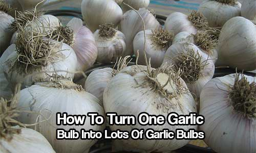 How To Turn One Garlic Bulb Into Lots Of Garlic Bulbs - Not many of us know this little trick, you can actually have unlimited garlic from just one organic bulb! Saving you a lot of money over the year.