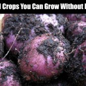 7 Survival Crops You Can Grow Without Irrigation