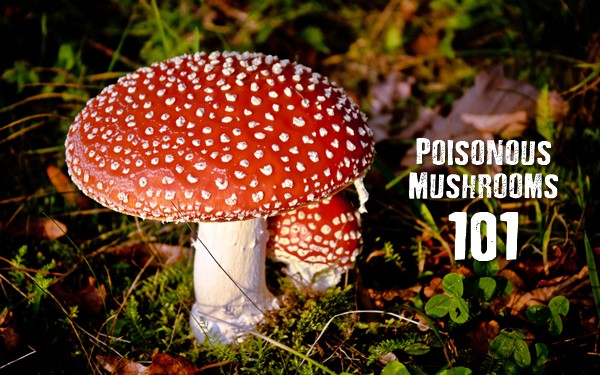 Poisonous Mushrooms 101 - A common pastime of survivalists is collecting edible mushrooms. This practice must be pursued with great caution since mistaking a poisonous mushroom for one that is edible can cost you your life.