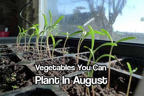 Vegetables You Can Plant In August - Summer is in full swing and our spring crops are probably producing great vegetables by now. It is not to late to plant a second or third crop in August and have great, organic food well into the cooler months.
