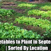 What Vegetables to Plant in September | Sorted By Location - Just because summer is rounding up and fall is approaching don't let that discourage you from growing your own vegetables over the cooler months. Some gardeners say that growing vegetables over fall is better than the spring growing season.