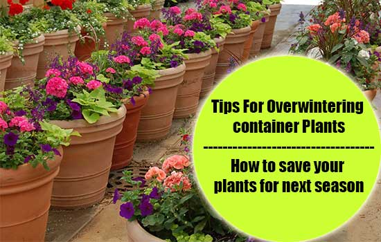 Tips For Overwintering Container Plants