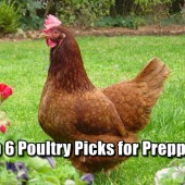 Top 6 Poultry Picks for Preppers