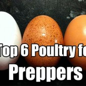 Top 6 Poultry for Preppers
