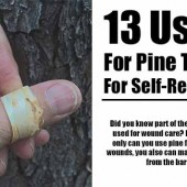 13 Uses For Pine Trees For Self-Reliance - The humble pine tree has way more uses than just making tea from its needles. This tree can literally save lives. Check these fabulous uses for self-reliance.