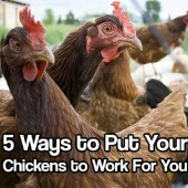 5 Ways to Put Your Chickens to Work For You