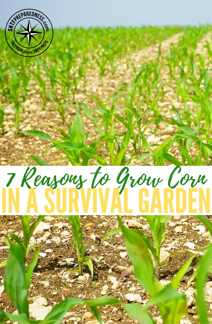 7 Reasons to Grow Corn in a Survival Garden — There are many different foods you can grow in your backyard survival garden. You should emphasize on growing those foods, which can last for long and which can grow in different weather conditions. Another thing you need to keep in mind is the nutrition value of the food you are growing.