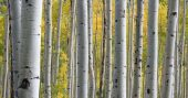 Birch Essential Oil for Arthritis, Muscle and Joint Pain & Survival — The use of essential oils, extracts, and all parts of various plants and trees is an ancient practice for healing and easing ailments. Even the drinking of certain kinds of teas provide well established medicinal benefits that our bodies are made to work with.