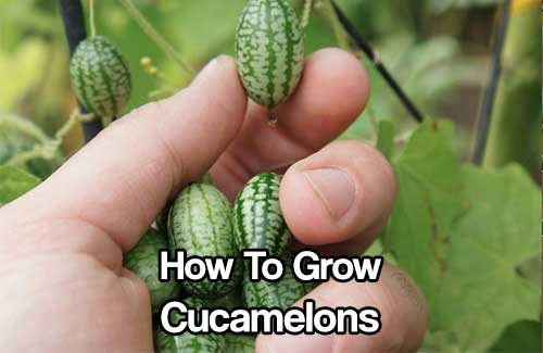 How To Grow Cucamelons - If you like the taste of cucumbers, cucamelons will be your new favorite snack you can grow right at home. Cucamelons are grape-sized watermelons that taste exactly like cucumbers but with a hint of lime.