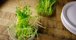 How to Grow Sprouts In A Mason Jar For You Or Your Chickens — Sprouts are great for us and our lovely chickens. They are full of nutrients and much needed sustenance. You can use sprouts in your every day foods, I prefer them in salads It gives the salad a great crunch and taste.
