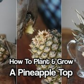 How To Plant & Grow a Pineapple Top