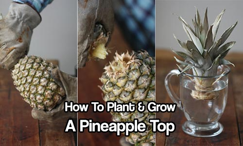 How to plant grow a pineapple top shtf prepping for How do i plant a pineapple top