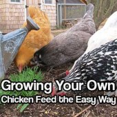 Growing Your Own Chicken Feed the Easy Way
